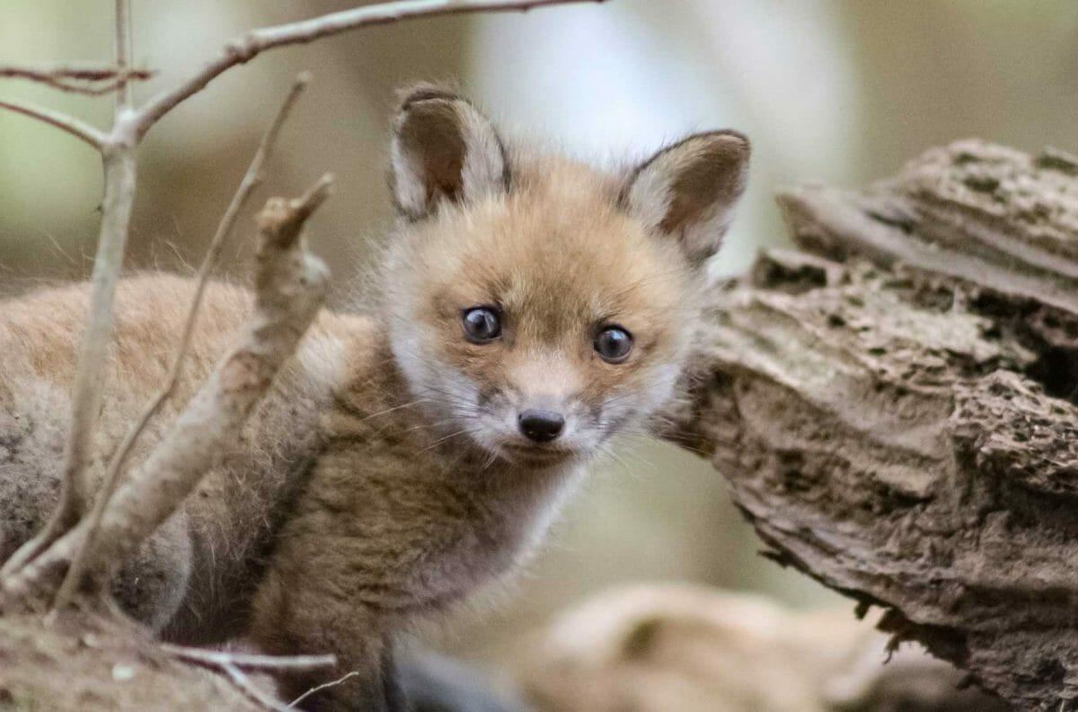 fox kit maryland wildlife harford county